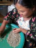 Mujeres tribales que escogen el grano de café fotografía de archivo libre de regalías