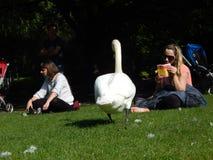 Mujeres y un cisne blanco Imágenes de archivo libres de regalías