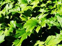 Mukdenia rossi Royaltyfri Fotografi