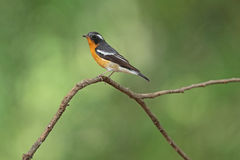 Mukimaki Flycatcher Royalty Free Stock Images