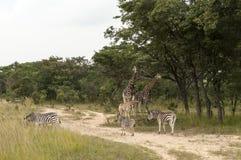 Giraffes and zebras Stock Image