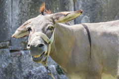 Mula de sorriso Imagem de Stock Royalty Free