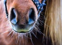 Mula del caballo Fotos de archivo libres de regalías