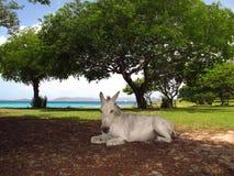 Mula del caballo del burro en sombra por la playa del mar Fotografía de archivo