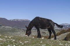 Mula en Apennines Fotografía de archivo