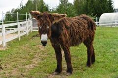 Mula en rancho Imagenes de archivo