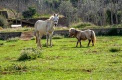 Mula och ponny som betar på fältet royaltyfria foton