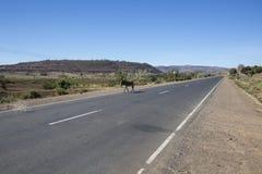 Mula som går på vägen Fotografering för Bildbyråer