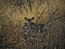 Mulahjort döljer i vinterlövverket Arkivfoton