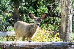 Mulahjortar i Rocky Mountain National Park royaltyfri bild