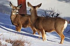 Mulahjortar (Odocoileushemionus) på Rocky Mountain N.P. Royaltyfri Fotografi