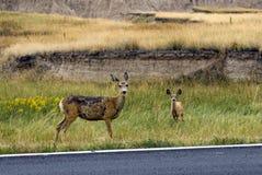 Mulahjortar på vägen sid i badlandsna nationalparken, South Dakota, USA arkivfoton