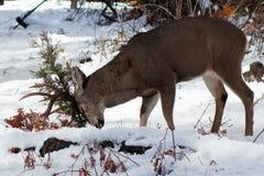 Mulahjortar sparkar bakut gnidning av hans horn på kronhjort på en buske i snö Fotografering för Bildbyråer