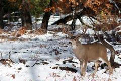 Mulahjortar sparkar bakut med stora horn på kronhjort i snö Arkivfoton
