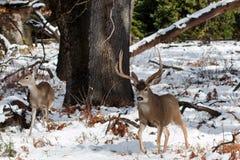 Mulahjortar sparkar bakut med stora horn på kronhjort i snö Fotografering för Bildbyråer