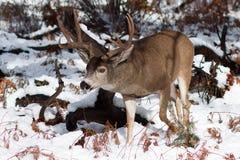 Mulahjortar sparkar bakut med stora horn på kronhjort i snö Arkivbilder