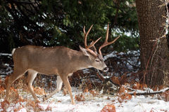 Mulahjortar sparkar bakut med stora horn på kronhjort i snö Royaltyfri Fotografi