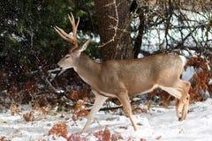 Mulahjortar sparkar bakut med stora horn på kronhjort i snö Royaltyfri Foto