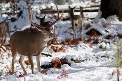 Mulahjortar sparkar bakut med stora horn på kronhjort i snö Royaltyfria Bilder