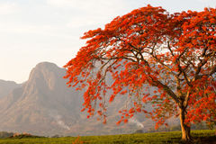 Mulanje mountain with red flamboyant. Red autumn trees of africa . Flamboyant trees over tea fields gardens t the foothills of Mount Mulanje, Malawi Stock Image