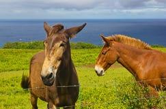 Mulas havaianas. Foto de Stock Royalty Free