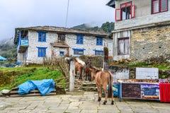Mulas na aldeia da montanha no trajeto do acampamento base imagem de stock