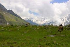 Mulas y caballos, pastando la hierba, cerca de las montañas revestidas de la nieve Himachal Pradesh Imagen de archivo