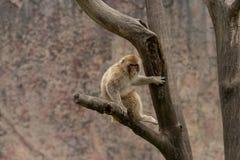 Mulatta Макак-Macaca стоковая фотография rf