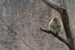 Mulatta Макак-Macaca стоковое изображение