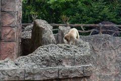 Mulatta curvet-Макак-Macaca стоковая фотография
