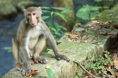 Mulatta del Macaca   Fotografía de archivo