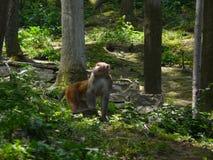 Mulatta del Macaca Foto de archivo libre de regalías
