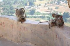Mulatta del Macaca del macaque del macaco de la India del mono de la cara roja Imagen de archivo
