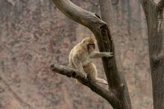 Mulatta del Macaco-Macaca Fotografia Stock Libera da Diritti