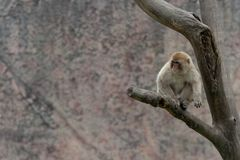 Mulatta del Macaco-Macaca Immagine Stock