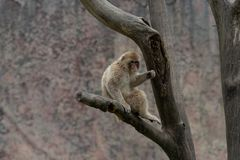 Mulatta del Macaco-Macaca Immagine Stock Libera da Diritti