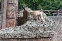 Mulatta do curvet-Macaque-Macaca Fotografia de Stock Royalty Free
