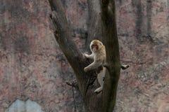 Mulatta do Macaque-Macaca Foto de Stock Royalty Free