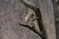 Mulatta do Macaque-Macaca Imagem de Stock Royalty Free