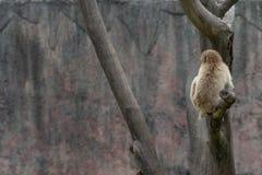 Mulatta do Silhueta-Macaque-Macaca Imagem de Stock Royalty Free