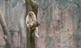 Mulatta do straddle-Macaque-Macaca Fotografia de Stock Royalty Free