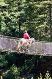 Mulattiere che attraversano un ponte di corda Immagine Stock Libera da Diritti