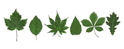 Mulb каштана adler клена стиля акварели вектора сезонное зеленое бесплатная иллюстрация