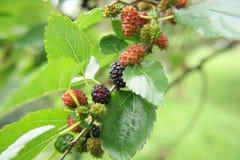Mulberries Fotos de Stock