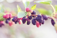 Mulberries. Many beautiful mulberries on a branch, with interesting background royalty free stock images