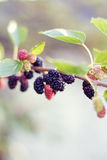 Mulberries. Many beautiful mulberries on a branch, with interesting background Stock Photo