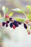 Mulberries Stock Photo