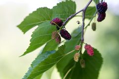 Mulberries Stock Photo