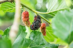 Mulberries on the branch of tree Royalty Free Stock Images