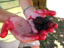 Mulberries in colored palms of  hands. Hands stained with mulberry juice Royalty Free Stock Photos